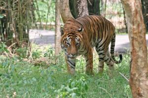 Bengal_Tiger_in_Bangalore image 2